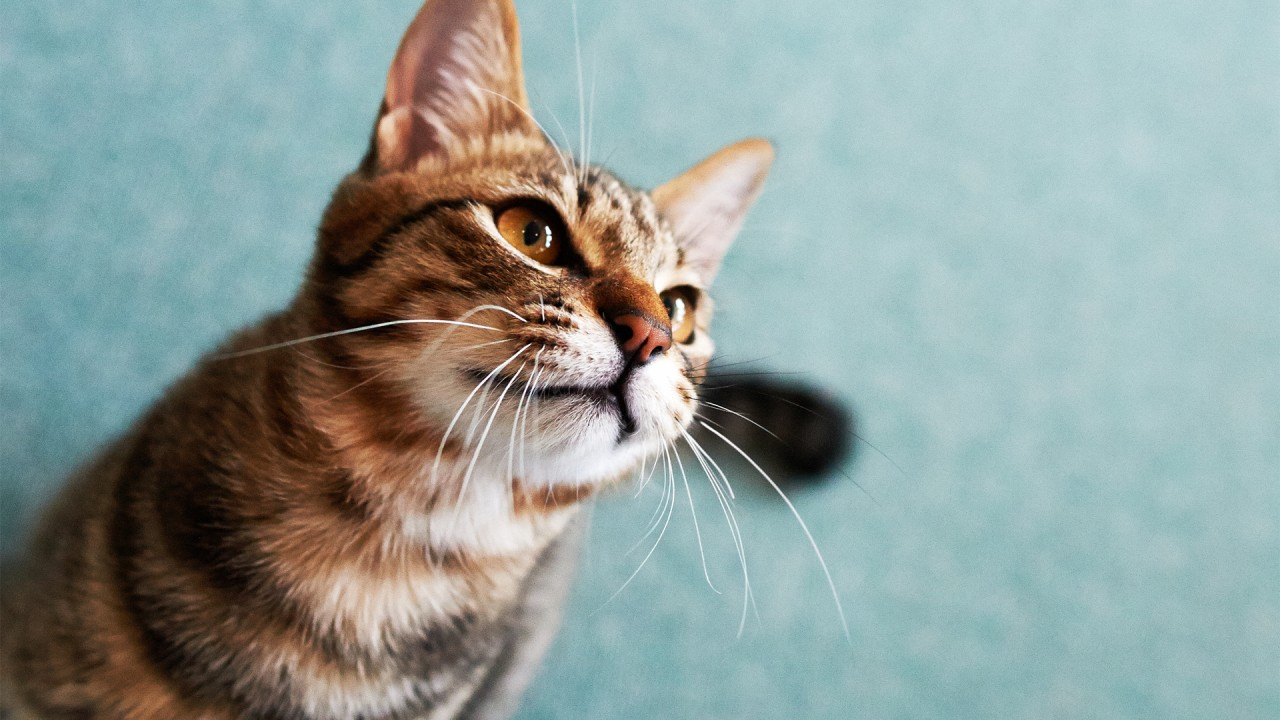 cat with big whiskers