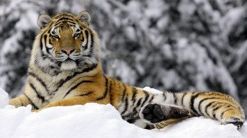 tiger-in-winter-HD