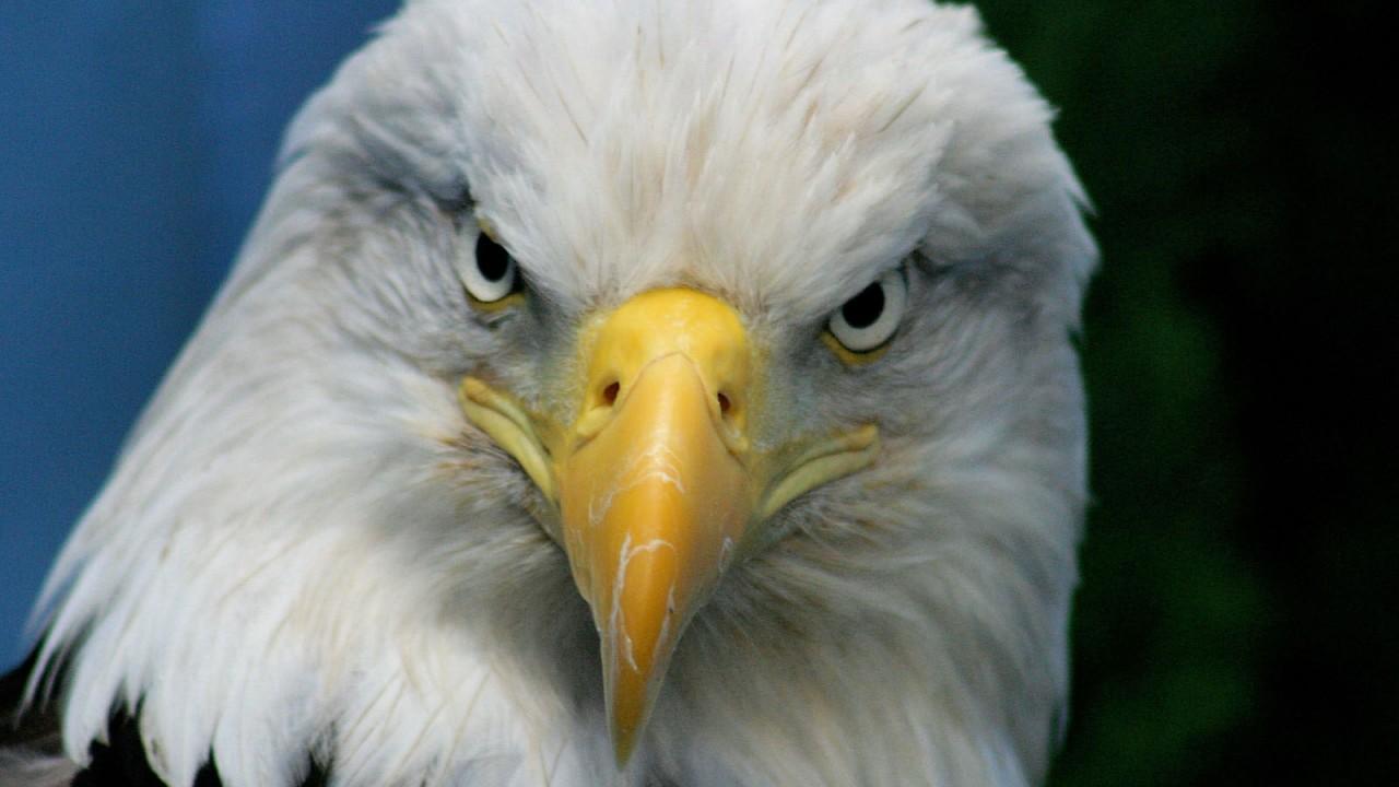 bald eagle normal