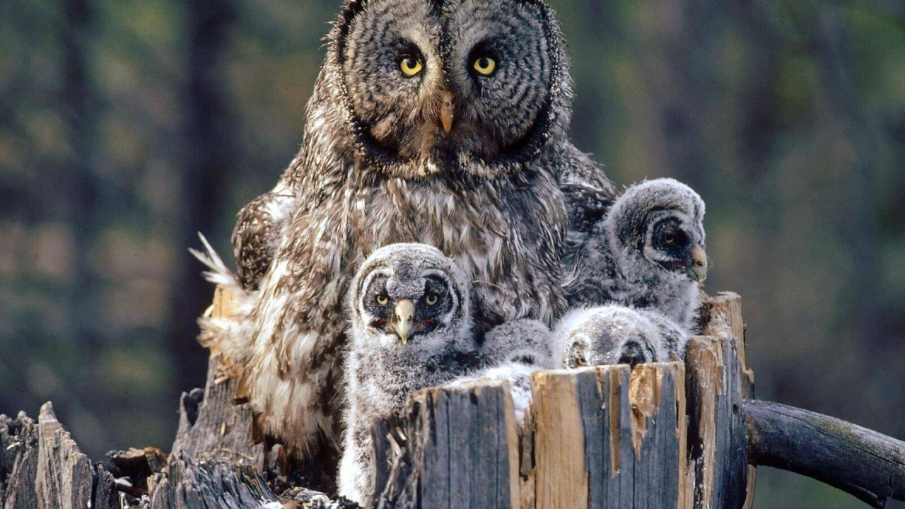 birds animals owl hd wallpaper.