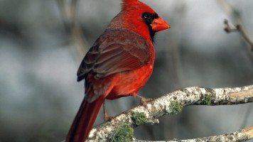 cardinal-normal