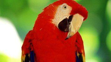 red-cacaddu