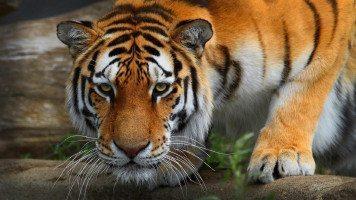 tiger-sneaking