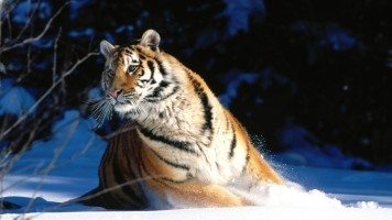 wintery-scuddle-siberian-tiger-normal