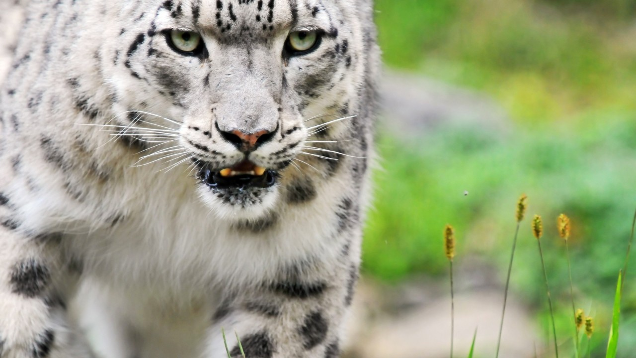 amazing white tiger wide