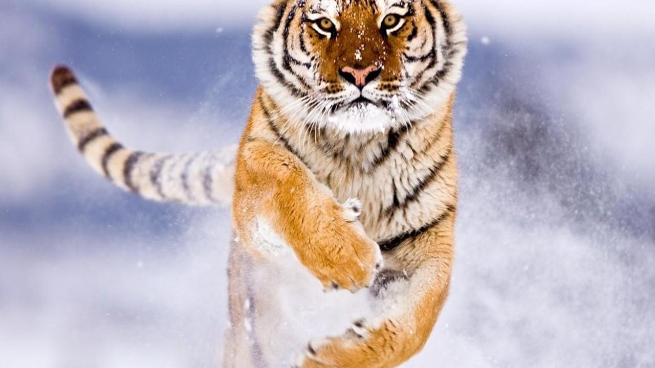 amur tiger in snow normal5.4
