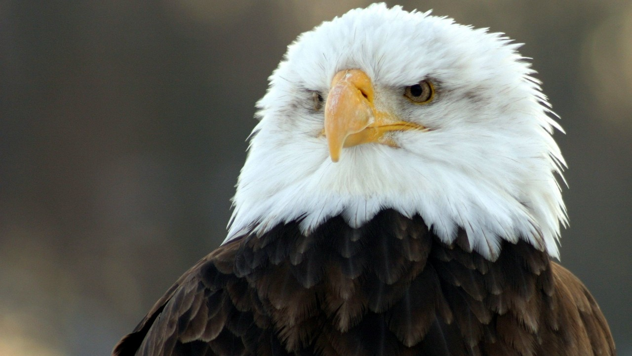 bald eagle hd wide wide