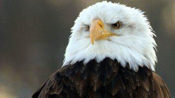 bald-eagle-hd-wide-wide