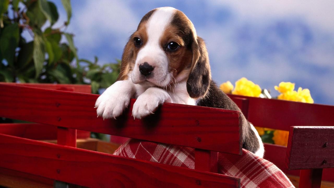 beagle puppy wide