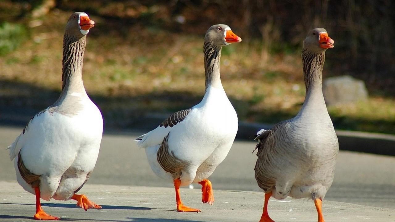 geese birds walk three wings