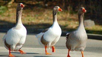 geese-birds-walk-three-wings
