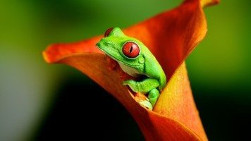 green-frog-in-orange-flower