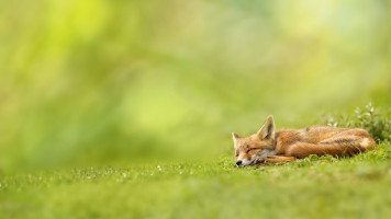 sleeping -fox