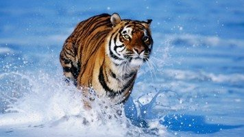 tiger-in-water-normal