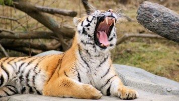 tiger-roaring-wide