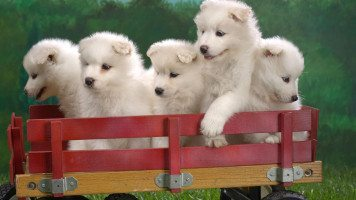 wagonload-of-samoyed-puppies-wide