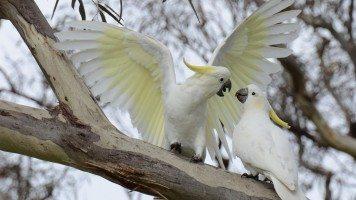 white-parrot