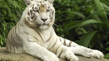 white-tiger-singapore-normal