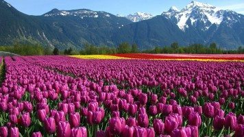 Field-of-colorful-tulips