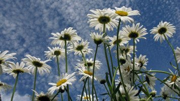 a-lot-of-daisies