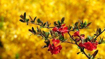 beautiful-maroon-flower-hd-wallpaper