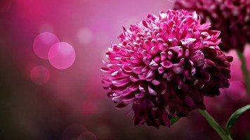 hd-wallpaper-beautiful-flowers