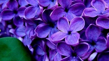 hd-wallpaper-flowers-purple-hydrangeas
