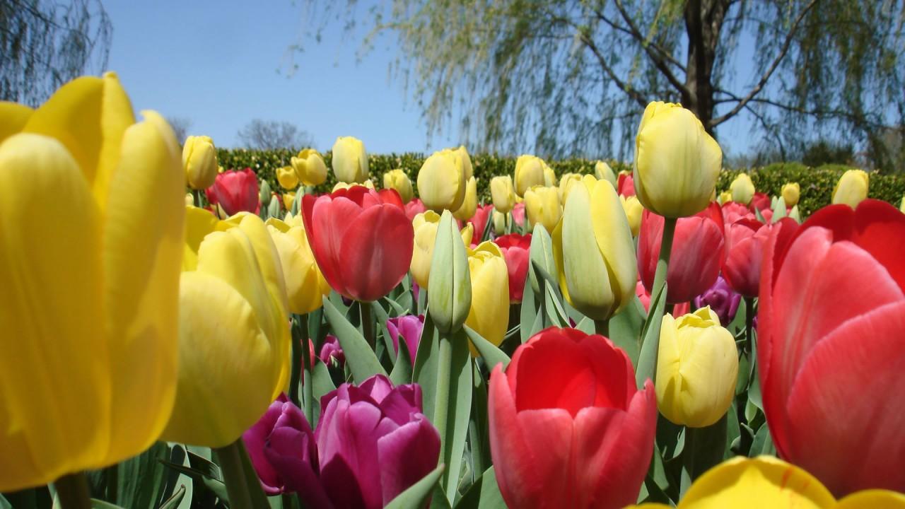 hd wallpaper fresh tulips flower wallpaper