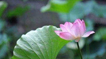 hd-wallpaper-hd-wallpaper-nature-flowers-leaves-macro-depth-of-field-pink-flowers