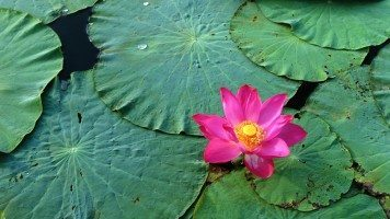 hd-wallpaper-lotus-flower-pink-water