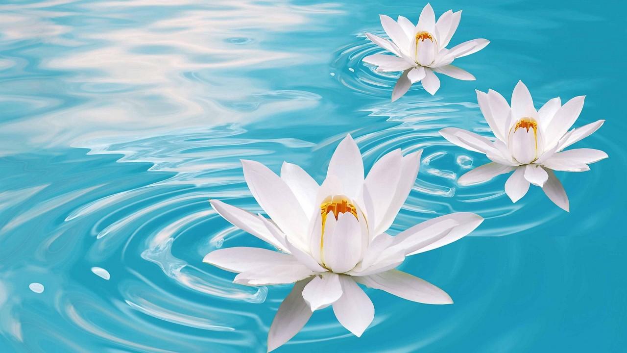 hd wallpaper lotus flowers