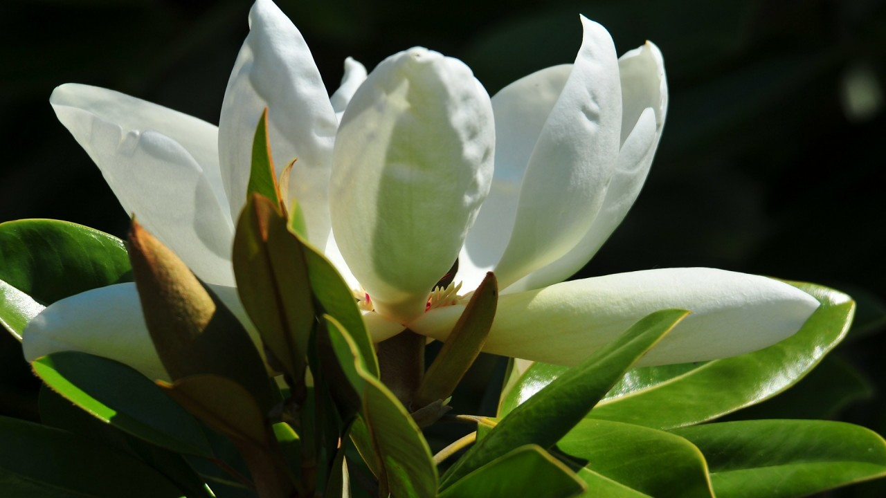 magnolia flowers hd wallpaper