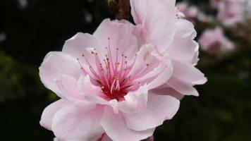 nice-rose-flower