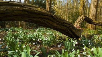snowdrops-in-the-forest