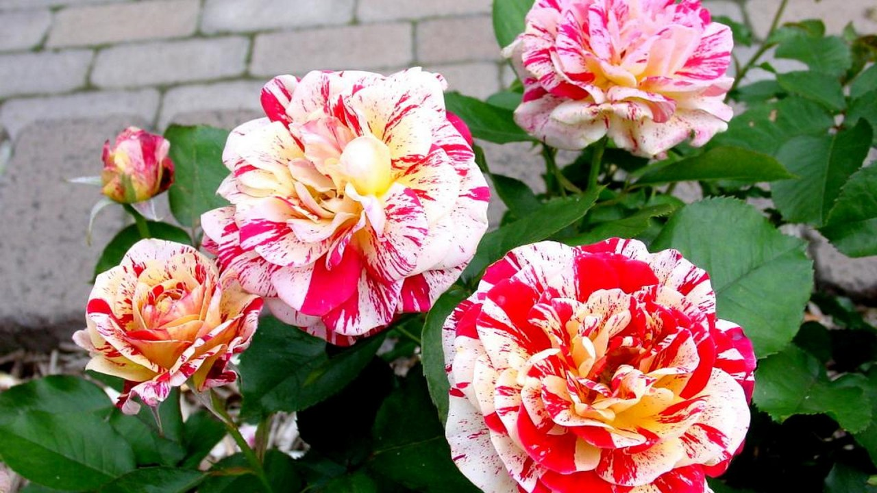 stained roses