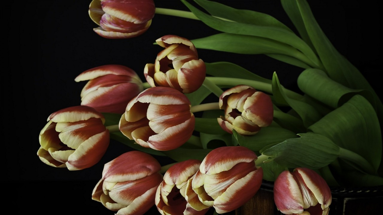 tulips beautiful hd wallpaper