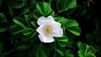 white-flower-surrounded-by-green-leaves