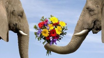 funny-elephant-marry-me-hd-wallpaper