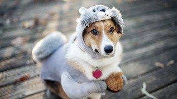 hd-wallpaper-dog-funny-outfit