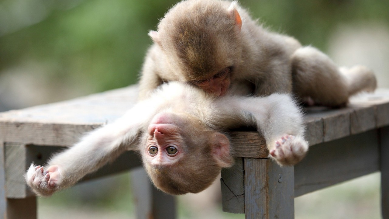 Two monkeys making love on a table