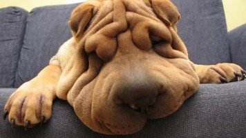 hd-wallpaper-funny-shar-pei-dog