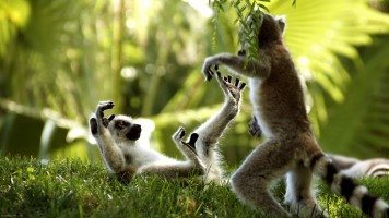 hd-wallpaper-playing-monkeys