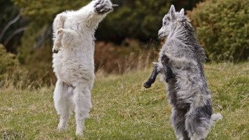 party-goats