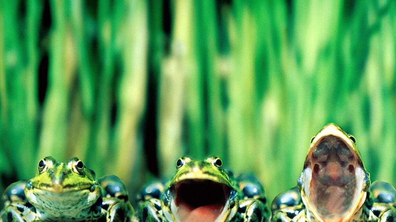 singing frogs