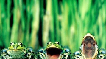 singing-frogs