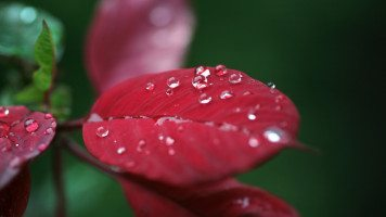 dew-drops-on-red-leaf