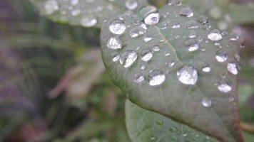 Morning-dew-on-a-leaf