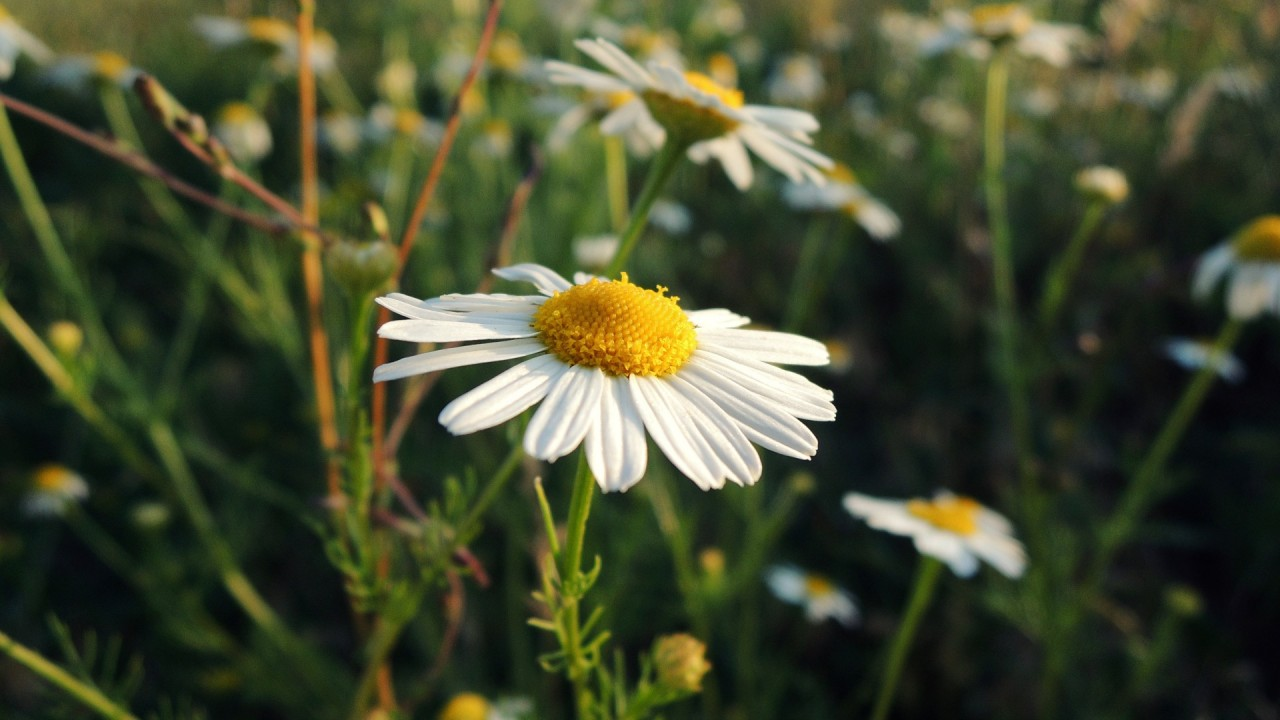 macro camomile hd wallpaper