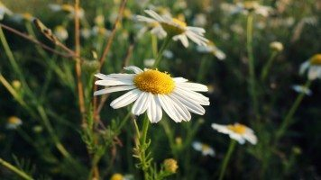 macro-camomile-hd-wallpaper