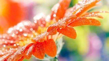 orange-flower-full-of-dew
